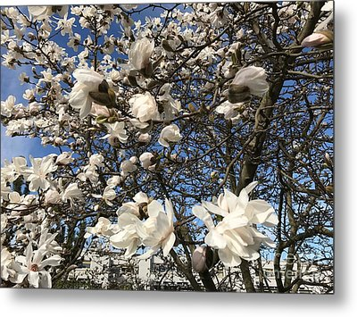 Metal Print featuring the photograph Magnolia Tree In Blossom by Patricia Hofmeester
