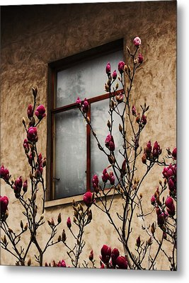 Magnolias Before Window Metal Print by Amy Neal