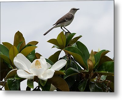 Magolia Bloom With Mocking Bird Metal Print by Julie Cameron