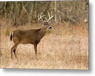 Majestic Buck Metal Print by Timothy McIntyre