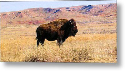 Majestic Buffalo In Kansas Metal Print