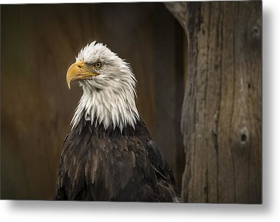 Majestic Eagle Metal Print by Robin Williams