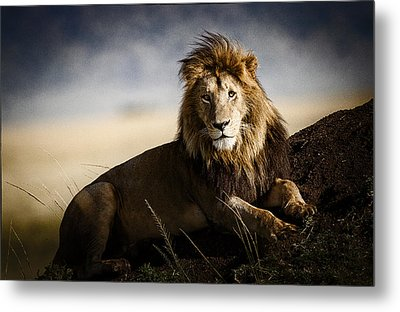 Majestic Male On Mound Metal Print by Mike Gaudaur