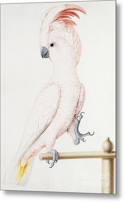 Major Mitchell's Cockatoo Metal Print by Nicolas Robert