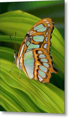 Malachite Butterfly (siproeta Stelenes) On Rhapis Palm Leaves (rhapis Excelsa) Metal Print by Darrell Gulin