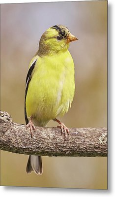 Male American Goldfinch In Early Spring Metal Print by Jim Hughes
