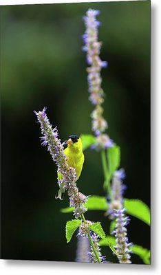 Metal Print featuring the photograph Male American Goldfinch by Juergen Roth