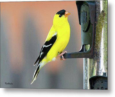 Male American Goldfinch Metal Print