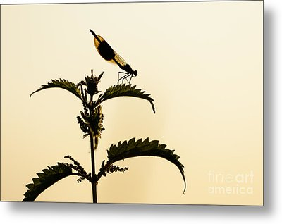 Male Banded Demoiselle At Sunset Metal Print
