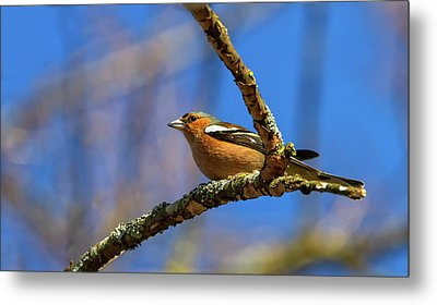 Male Common Chaffinch Bird, Fringilla Coelebs Metal Print