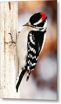 Male Downy Woodpecker 3 Metal Print by Larry Ricker
