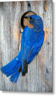 Male Eastern Bluebird Sialia Sialis On Metal Print by Panoramic Images