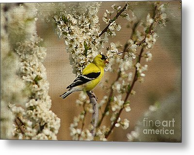 Male Finch In Blossoms Metal Print by Cathy  Beharriell