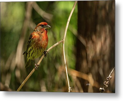 Male Finch In Red Plumage Metal Print by Angela A Stanton