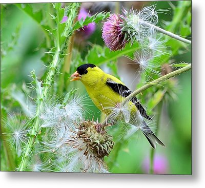 Male Goldfinch Metal Print by Kathy Eickenberg