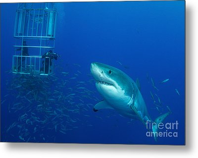Male Great White Shark And Divers Metal Print by Todd Winner