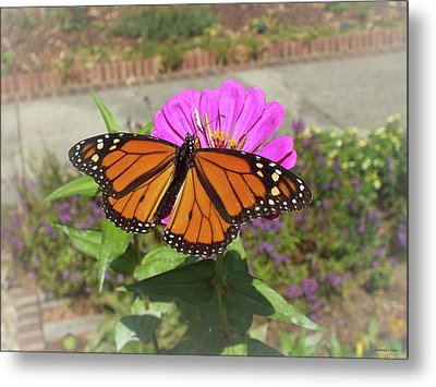 Male Monarch  Metal Print