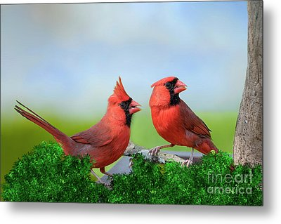 Metal Print featuring the photograph Male Northern Cardinals In Spring by Bonnie Barry