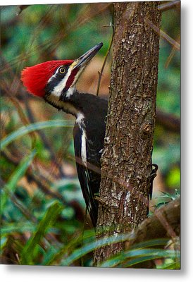 Male Pileated Woodpecker Metal Print by Robert L Jackson