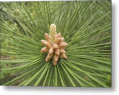 Male Pine Cones  Metal Print by Michael Peychich