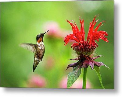 Male Ruby-throated Hummingbird Hovering Near Flowers Metal Print