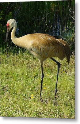 Metal Print featuring the photograph Male Sandhill Crane by Lynda Dawson-Youngclaus
