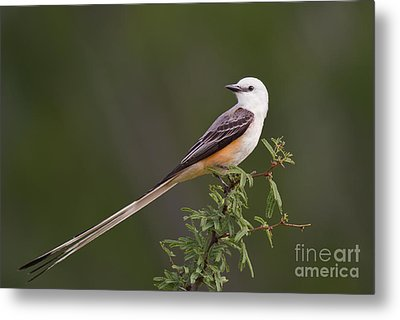 Male Scissor-tail Flycatcher Tyrannus Forficatus Wild Texas Metal Print by Dave Welling
