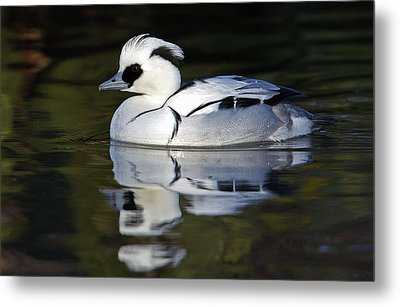 Male Smew Metal Print