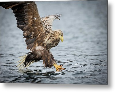 Male White-tailed Eagle Metal Print by Andy Astbury