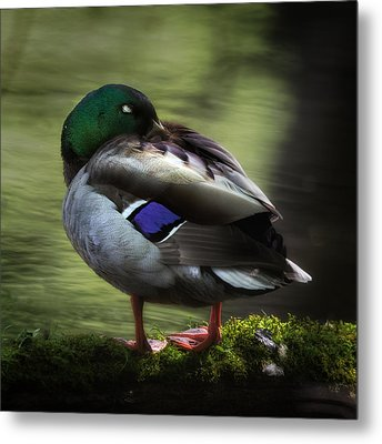 Mallard Duck Metal Print by Bill Wakeley