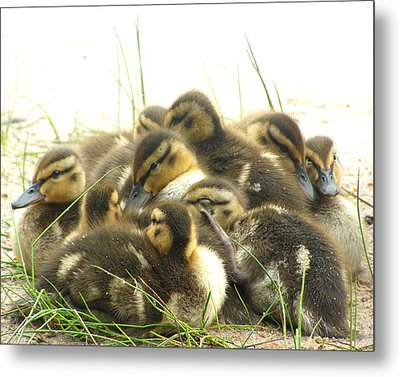 Metal Print featuring the photograph Mallard Ducklings by Angie Rea