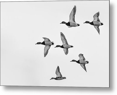 Mallards Metal Print by Dan Traun