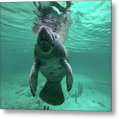 Manatee Breathing Metal Print by Tim Fitzharris