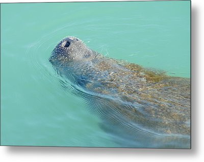 Metal Print featuring the photograph Manatee Surfaces For Air by Lynda Dawson-Youngclaus