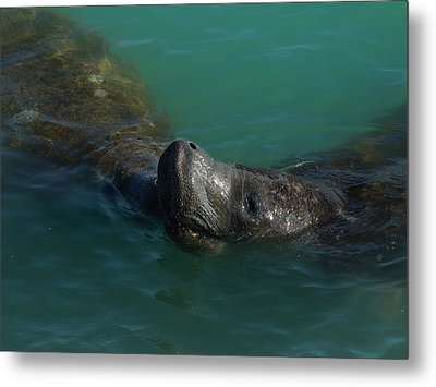 Metal Print featuring the photograph Manatee With Seaweed Snack by Lynda Dawson-Youngclaus
