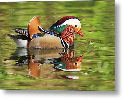 Metal Print featuring the photograph Mandarin Duck by Ram Vasudev