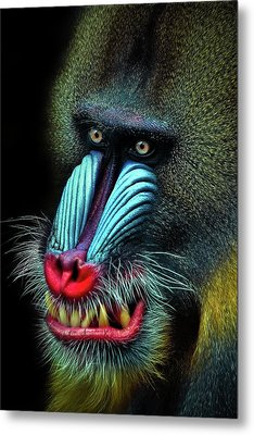 Mandrill Metal Print by Animus Photography