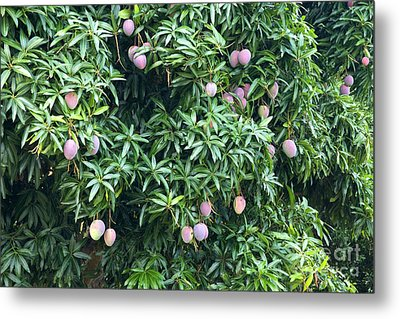 Mango Tree Metal Print by Inga Spence