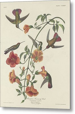 Mangrove Hummingbird Metal Print by Dreyer Wildlife Print Collections