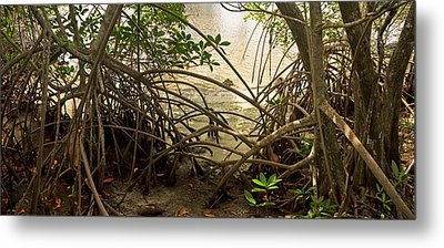 Mangroves On New River Metal Print