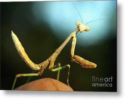 Metal Print featuring the photograph Mantid by DiDi Higginbotham