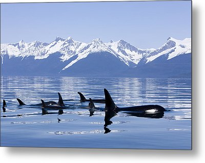 Many Orca Whales Metal Print
