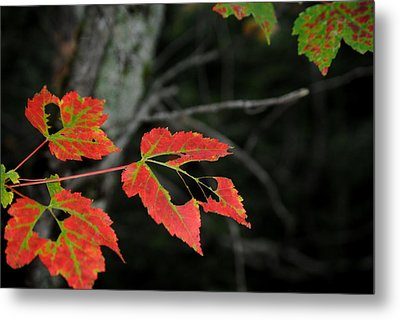 Maple Leaves Metal Print by Steven Scott