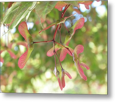 Maple Seeds Metal Print