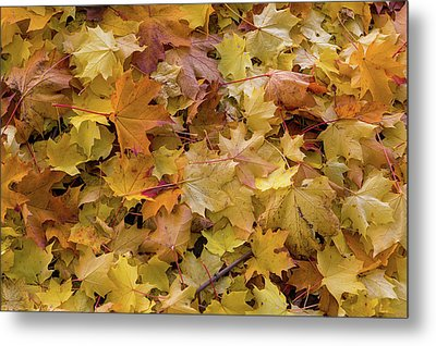 Maple Tree Fall Leaves Background Metal Print