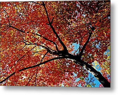 Maple Tree In Autumn Glow Metal Print by Juergen Roth