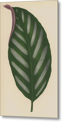 Maranta Porteana Metal Print by English School