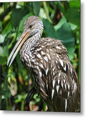 Marbled Godwit Metal Print by Rose  Hill