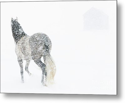 Mare In A Blizzard II Metal Print by Carol Walker