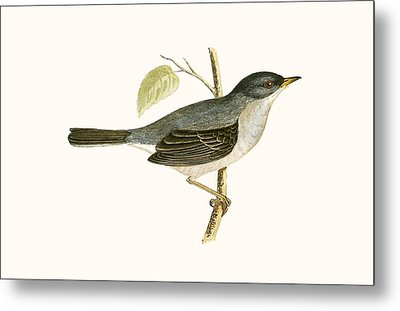Marmora's Warbler Metal Print by English School